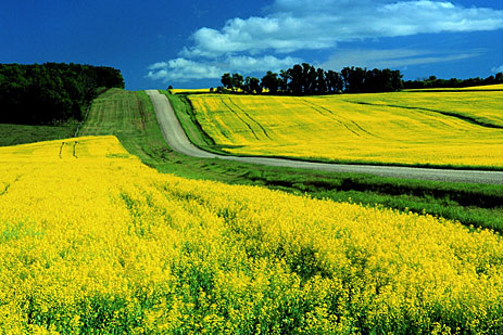 canola_field_road2